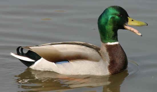 DuckHead Avatar